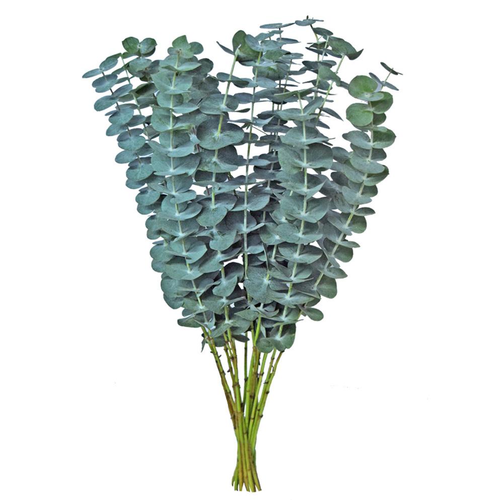Eucalyptus baby blue greens