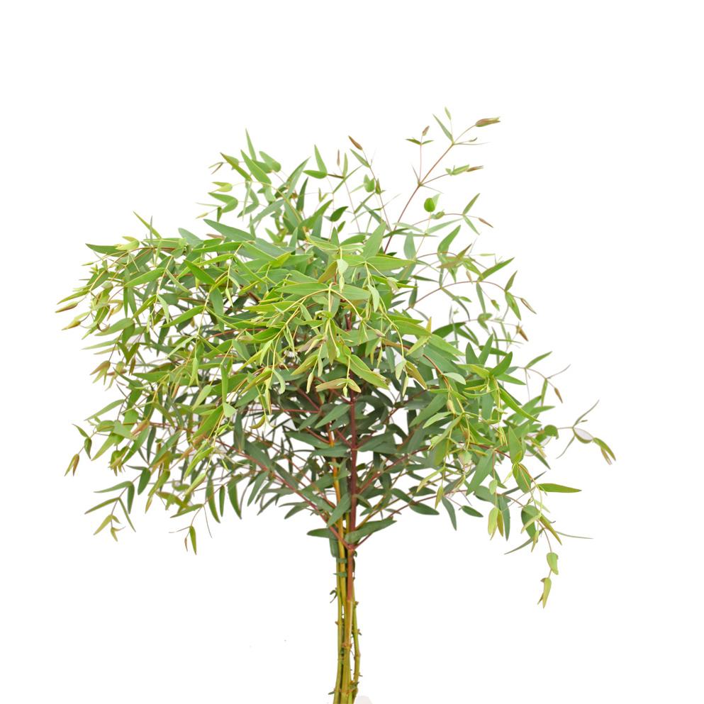 Eucalyptus laevigatun greens
