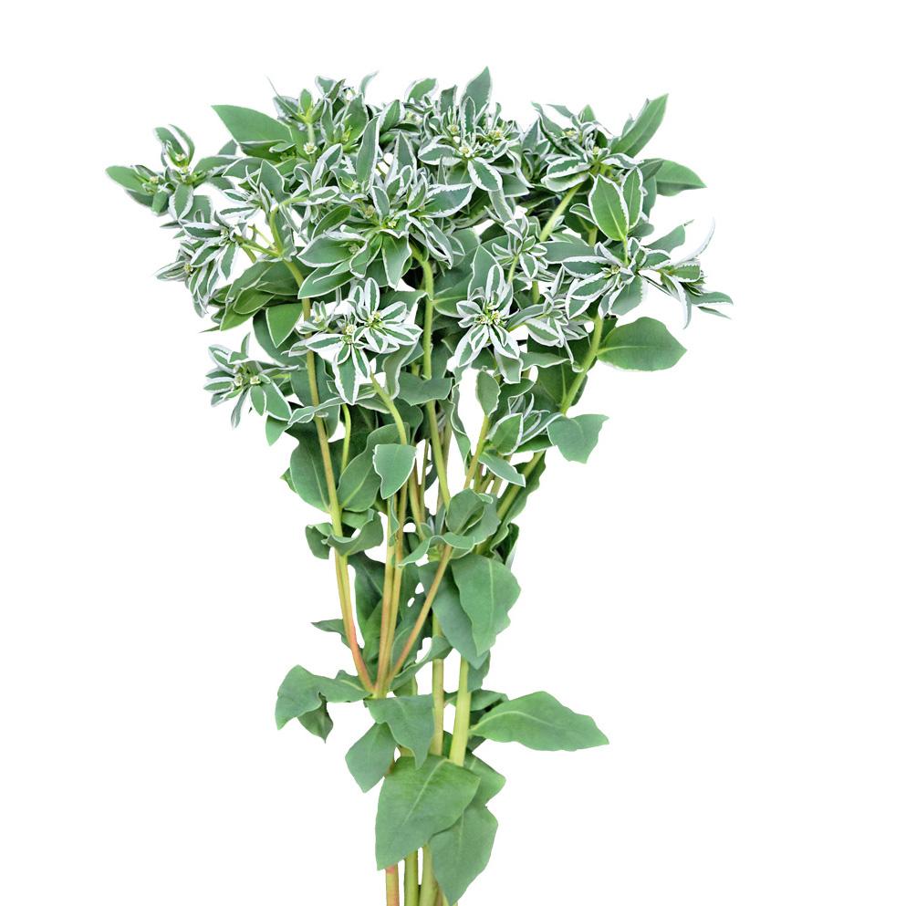 Euphorbia greens