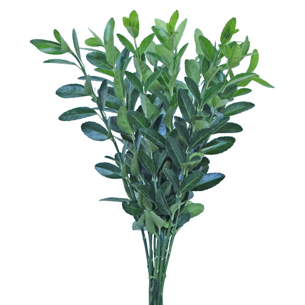 Evonimo greens