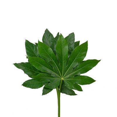 Fatsia japonica greens
