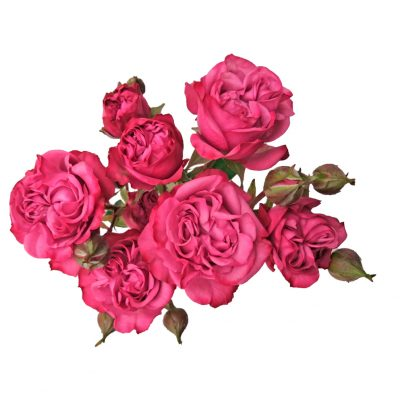 Fiction spray roses