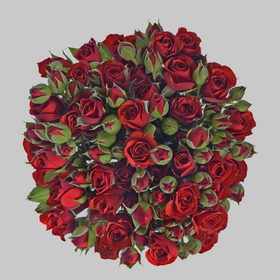 Fire king red spray roses