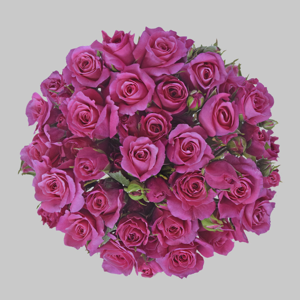 Follies hot pink spray roses