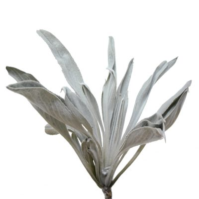 Frailejon greys