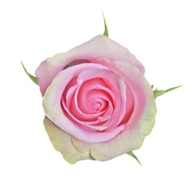 Fusion pink roses