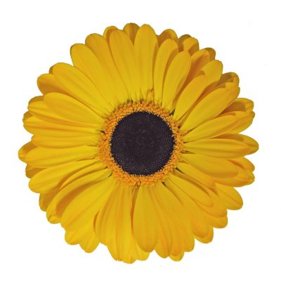 Goldstrike gerbera summer flowers