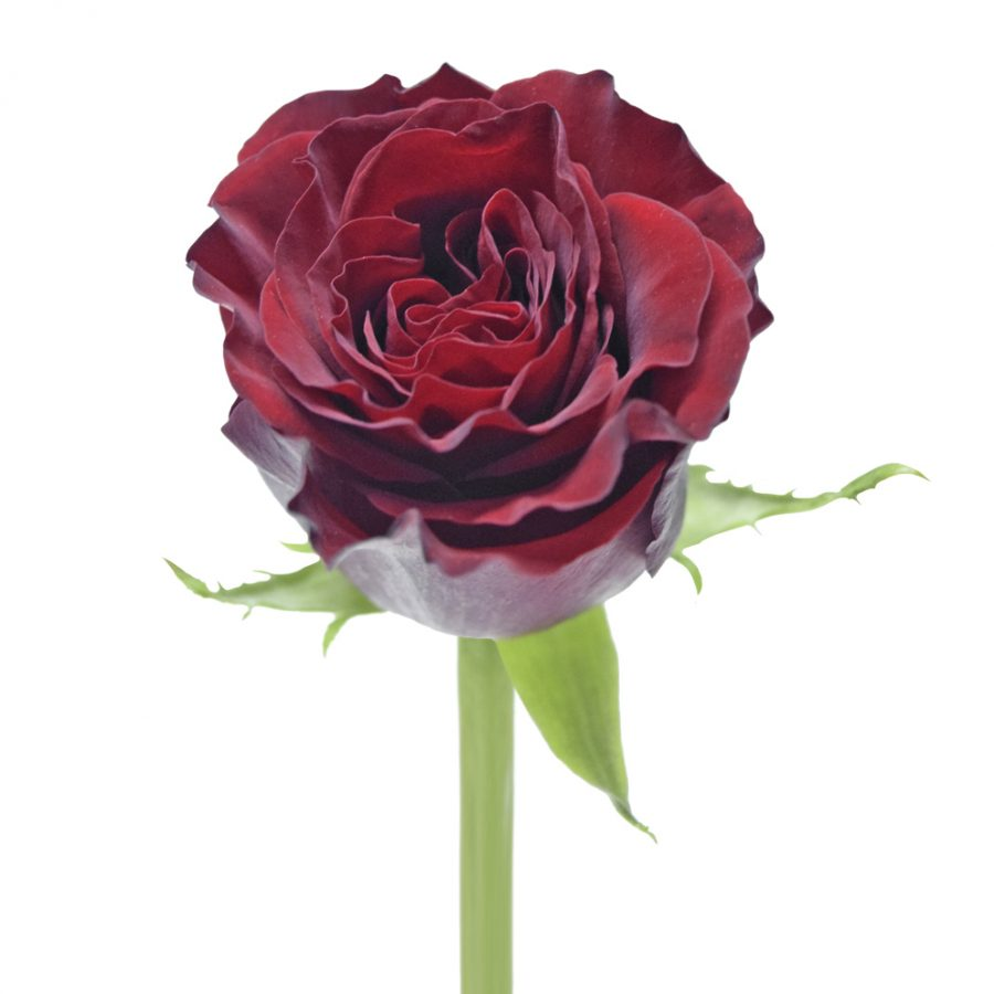 Heart red roses front