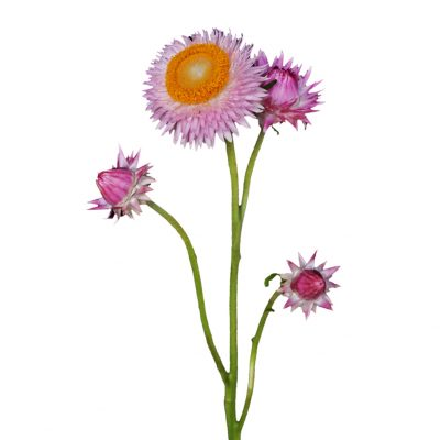Helichrysum pink summer flowers