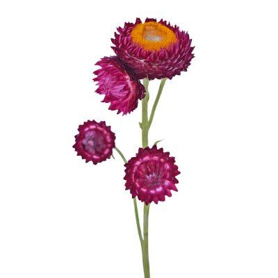 Helichrysum-purple summer flowers