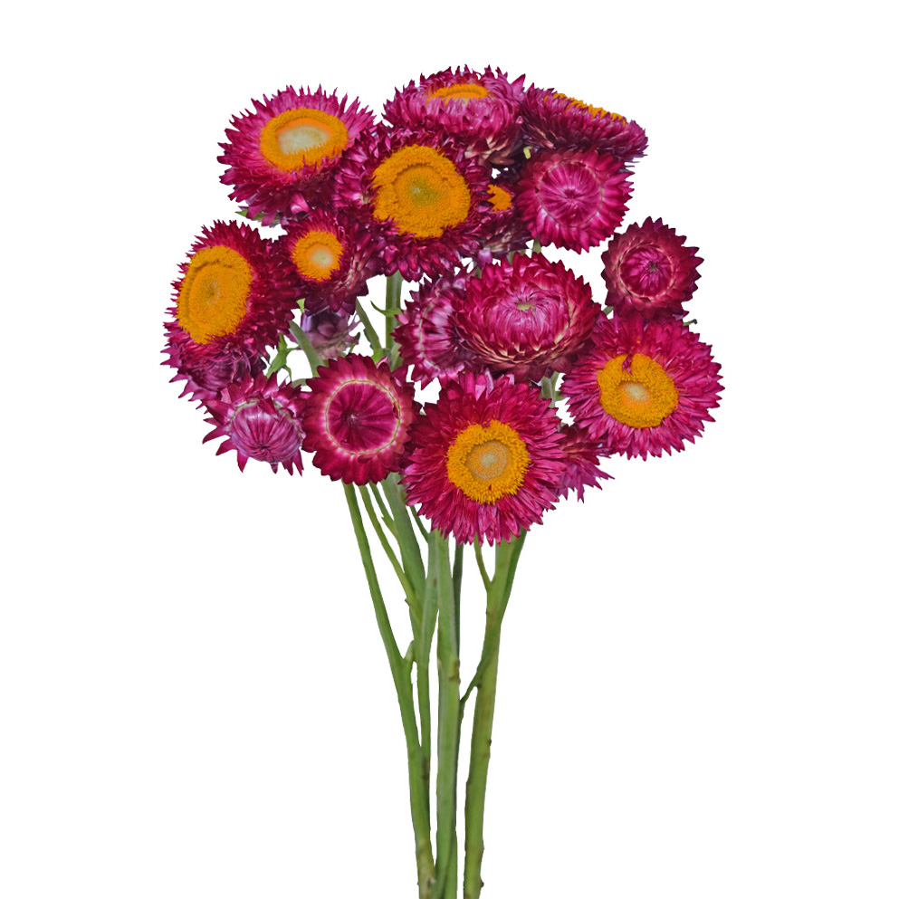 Helichrysum-purple summer flowers side