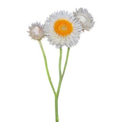 Helichrysum whit summer flowers