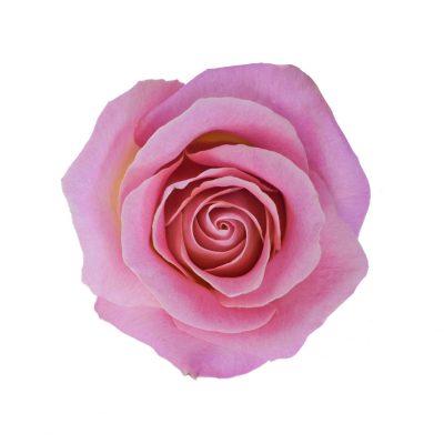 Hermosa roses