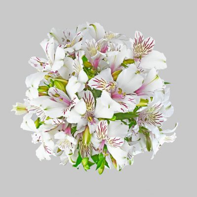 Himalaya alstroemeria summer flowers