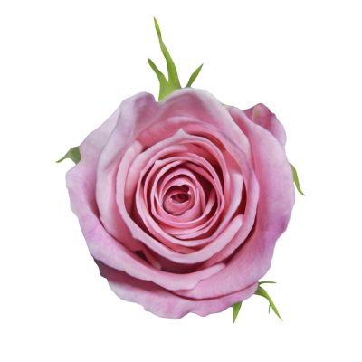 Hot escimo pink roses