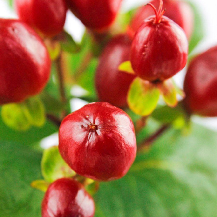 Hypericum red summer flowers close up