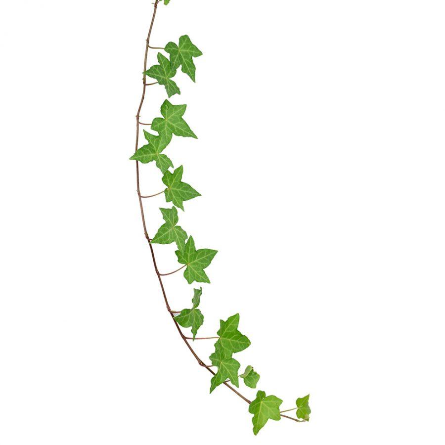 Ivy greens summer flowers