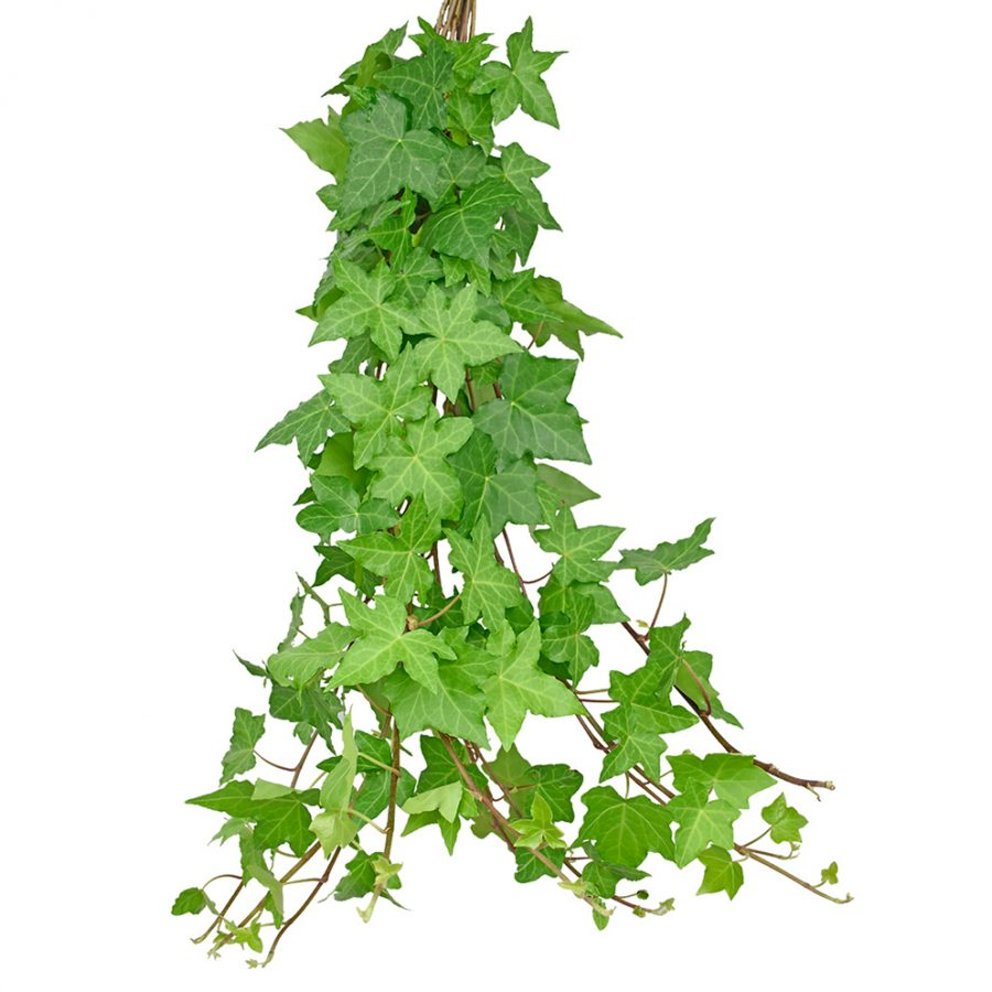 Ivy greens summer flowers side
