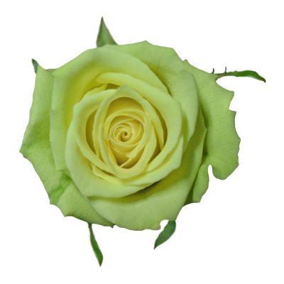Jade green roses