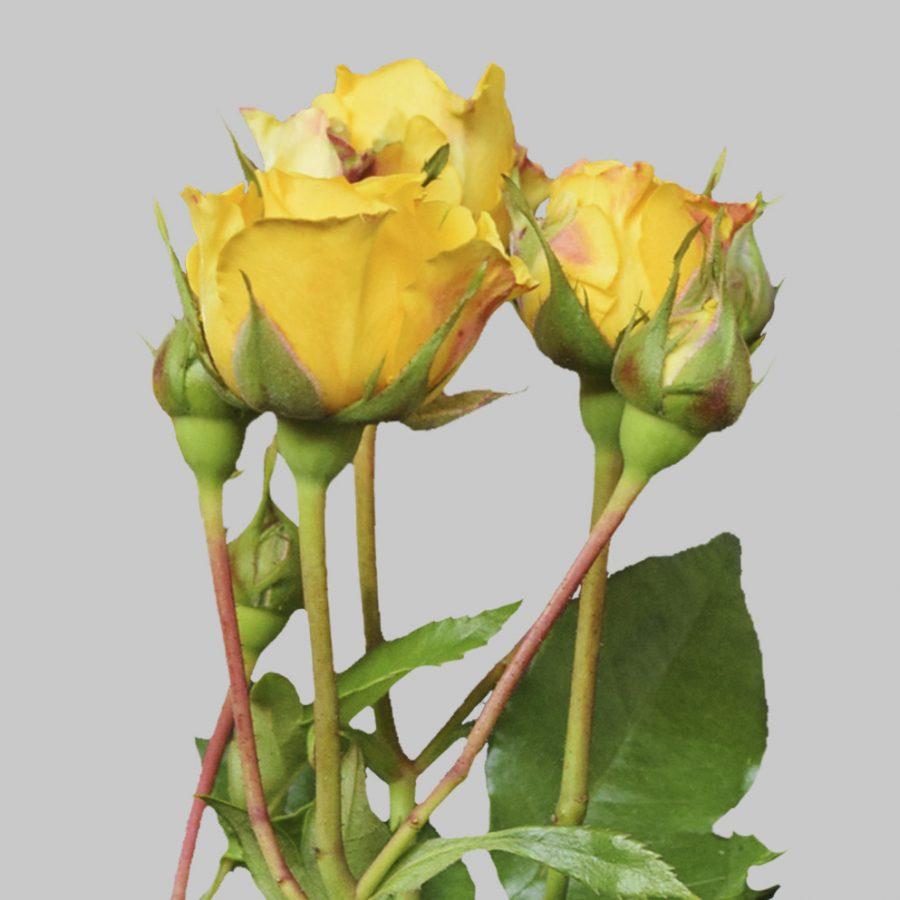 Jenny yellow spray roses close up