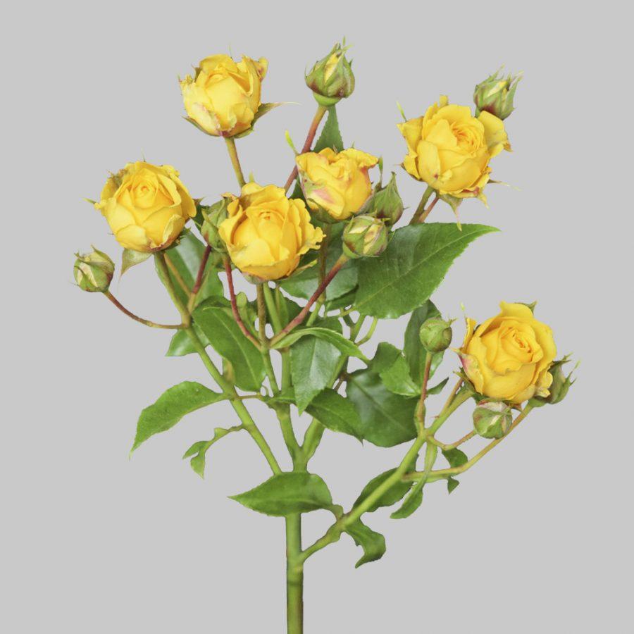 Jenny yellow spray roses stem