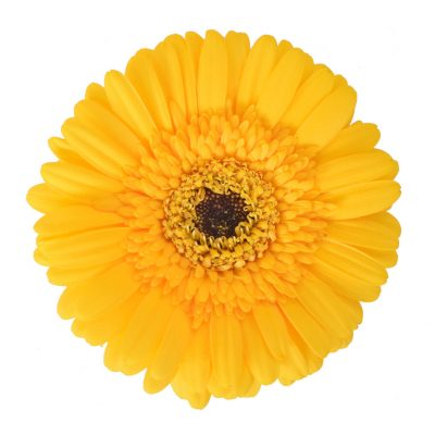 Jent gerbera summer flowers
