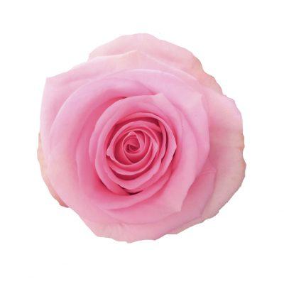 Jessica roses
