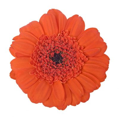 Jordi mini gerbera summer flowers