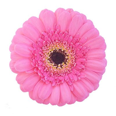 Kimi mini gerbera summer flowers