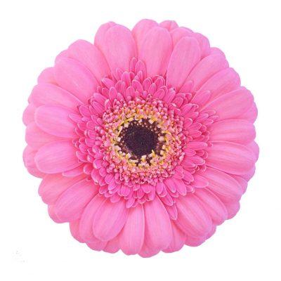 Kimi mini gerbera summer flowers