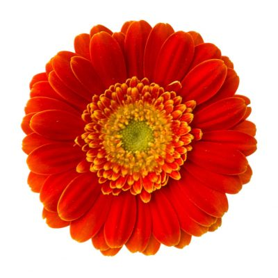 Kira mini gerbera summer flowers