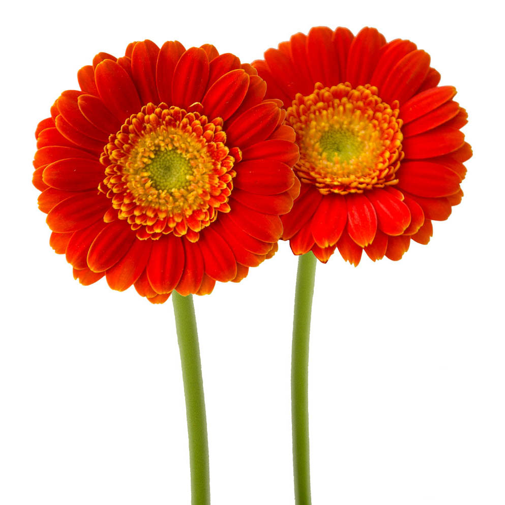 Kira mini gerbera summer flowers side