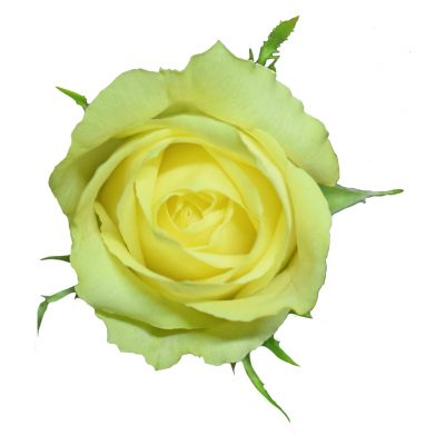 Kronos yellow roses