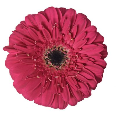 Landmark gerbera summer flowers