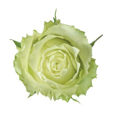 Lemonade green roses
