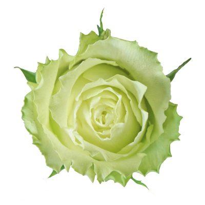Lemonade roses