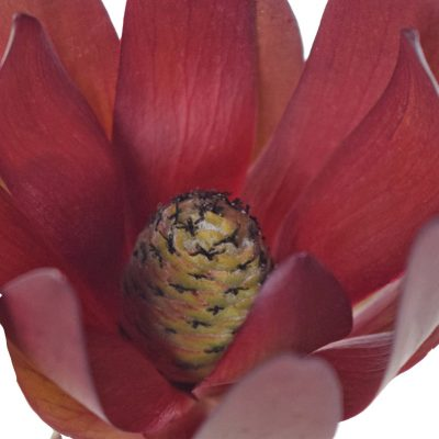 Leucadendron summer flowers stem