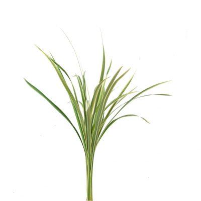 Lily grass variegata fine greens