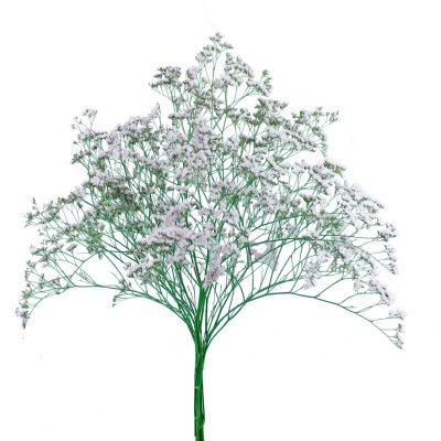 Limonium pink summer flowers
