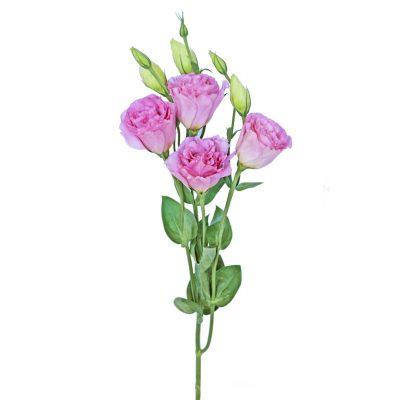 Lisianthus pink summer flowers