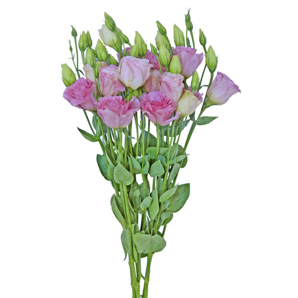 Lisianthus pink summer flowers side