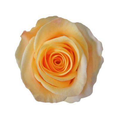 Madeleine peach roses
