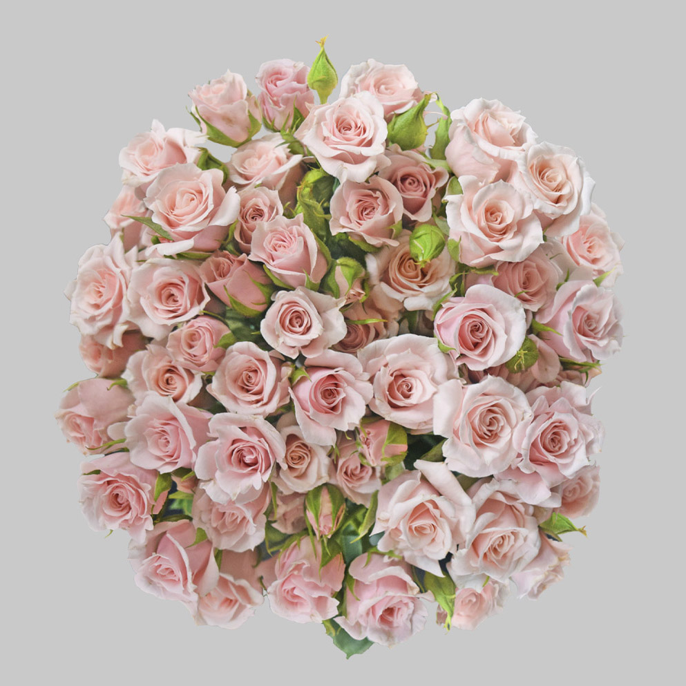 Majolika pink spray roses