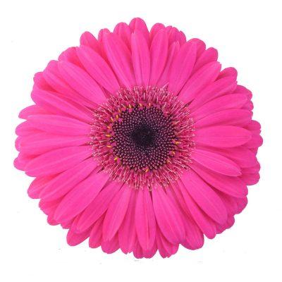 Malibu gerbera summer flowers