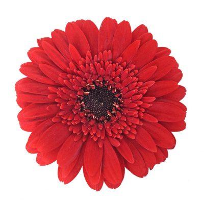 Masserati mini gerbera summer flowers