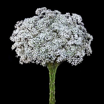 Million stars gypsophila