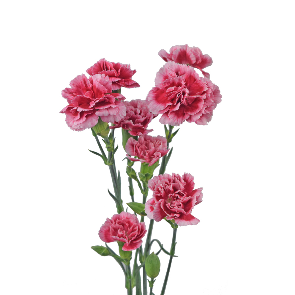 Minicarnations ligth pink summer flowers side