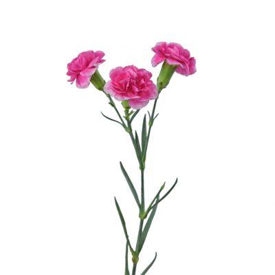 Minicarnations pink summer flowers