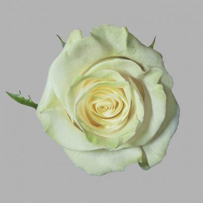 Mondial white roses