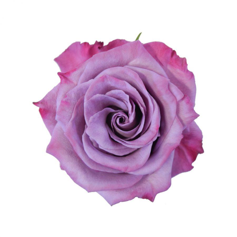 Moody blues roses